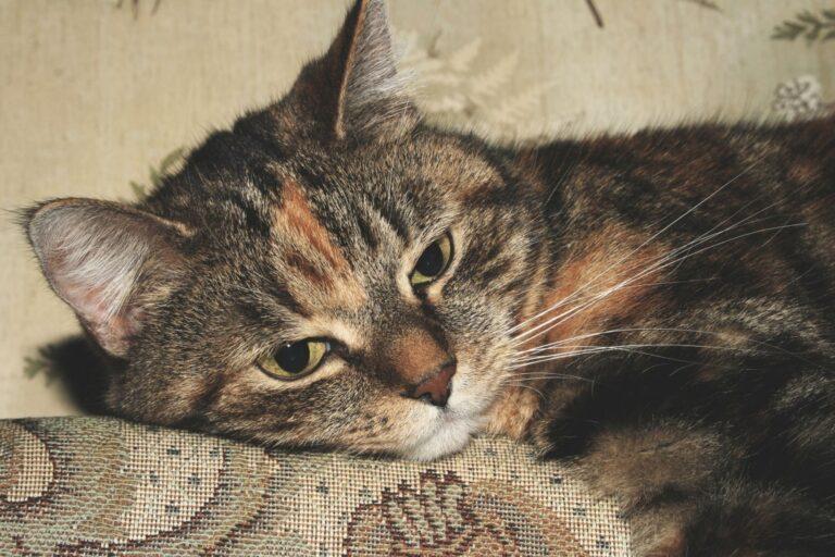 Wczesne zapobieganie chorobom nerek u kotów